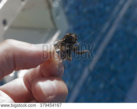 A Hand Taking A Dead Bumblebee Out Of Water, Outdoor Macro Shot