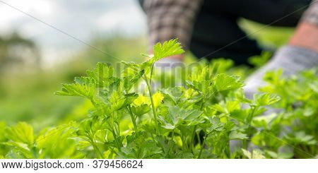 Blurry Skilled Gardener In Gloves Works Among Seedlings With Green Wild Strawberries Leaves On Foreg
