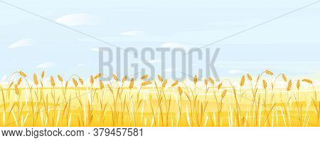 Wheat Field With Stalks Ready For Harvest On Light Blue Sky With Small White Clouds, Summer Countrys