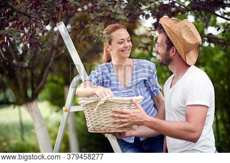 Happy spouses in the garden picking cherries to a basket