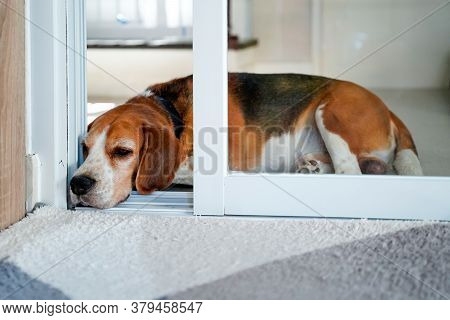 A Beagle Dog Laying Down Near A Mat In Front Of Slide Door With A Sad Expression Waiting For His Own
