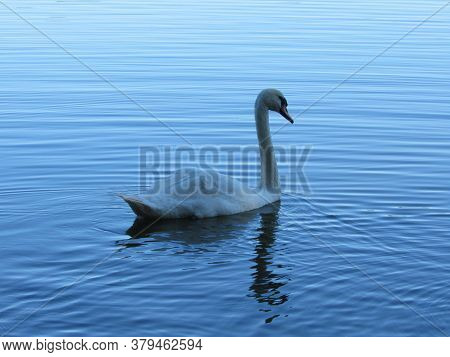 Swans On The Lake. Loyalty To The Swan. Photo Of Swans Close Up