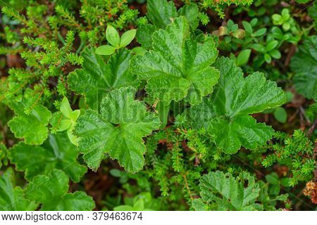 Background Of Green Leaves Of Cloudberry In The Boreal Forest