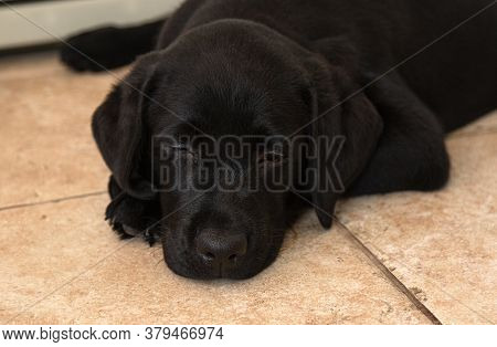 Portrait Of Black Labrador Puppy Close-up.top View Of Black Puppy. Black Labrador Puppy Lies On Floo