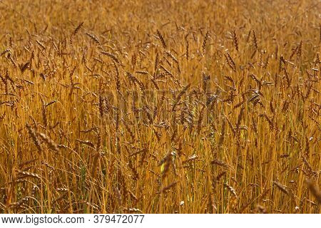 Field Of Wheat On A Sunny Day In Siberia, Russia