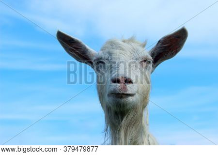 White Goat Outdoors. Goat Standing In Farm Pasture. Shot Of A Herd Of Cattle On A Dairy Farm. Nature