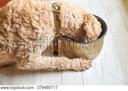 Dog Eats From A Pan On A White Wooden Background.