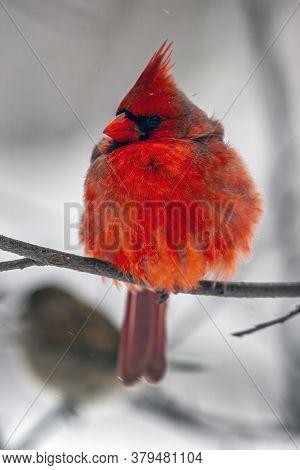 Cardinals, In The Family Cardinalidae, Are Passerine Birds
