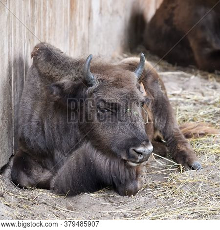 Calf Of European Bison (bison Bonasus), Also Known As Wisent Or The European Wood Bison In The Priok