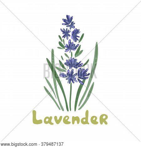 Lavender Flowers, Vector Illustration Clipart. Botanical Illustration. Bunch Of Lavender Flowers On