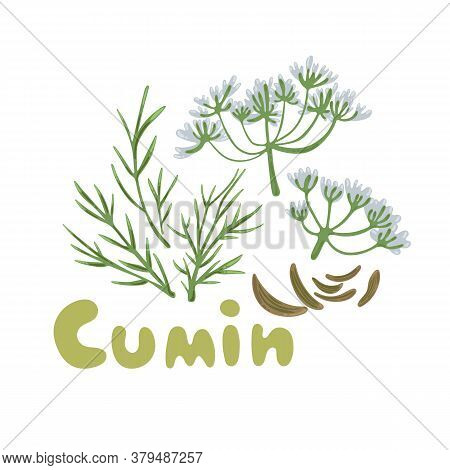 Cumin Seed With Flowers And Leaves. Vector Illustration. Aromatic Plant Cumin. Cooking Flavor Ingred