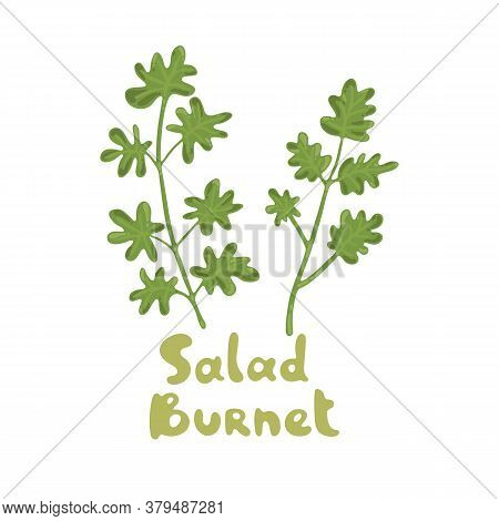 Salad Burnet, Sanguisorba Minor. Microgreens. Cooking Salad Ingredient. Ingredient For Diet Dishes.
