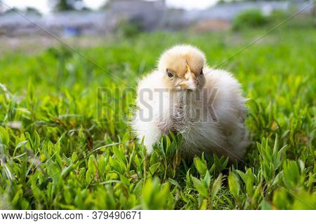 Naked Neck Chicken On The Farm. Little Yellow Chicken On Green Grass In A Field. Close Up Naked Neck