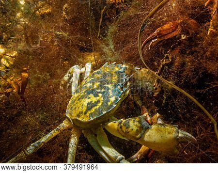 A Closeup Underwater Picture Of A Crab Almost Pinching The Camera With Its Huge Claw. Picture From O
