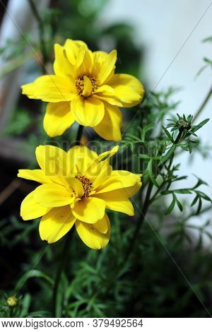 Two Bright Yellow Blooming Bur Marigold Flowers