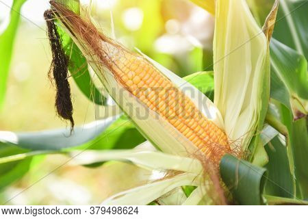 Ripe Corn Cob On Tree Wait For Harvest In Corn Field Agriculture / Fresh Corn On The Cob Stalk In Fi