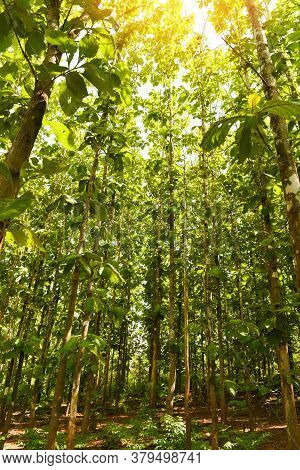 Teak Tree Agricultural In Plantation Teak Field Plant With Green Leaf /  Sunlights Forest Of Fresh G