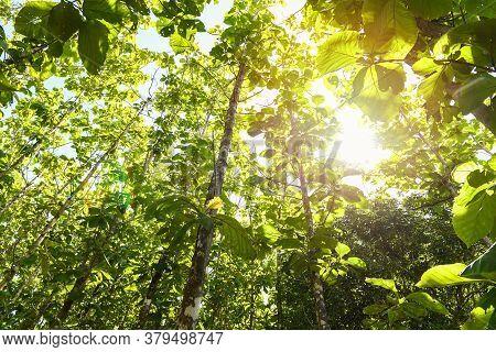 Teak Tree Agricultural In Plantation Teak Field Plant With Green Leaf / Sunlights Forest Of Fresh Gr