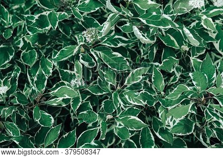 Green Background With Leaves Ficus Benjamina. Growing Ficus In The Garden. Top View. Copy, Empty Spa