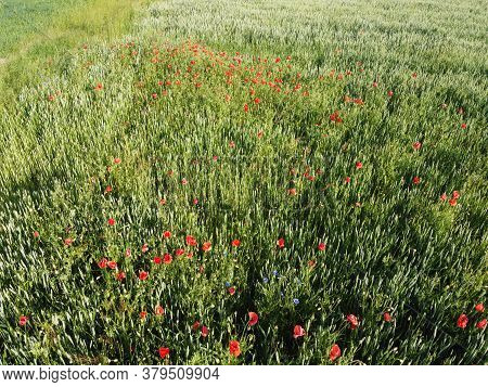 Wild Poppies On A Wheat Field, Aerial View. Red Wildflowers.