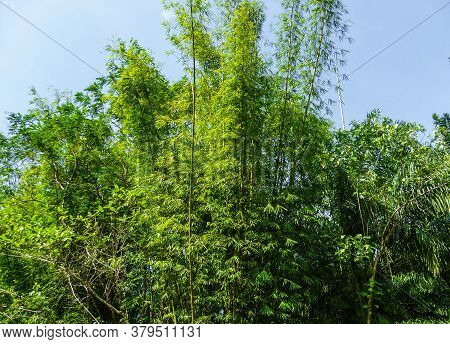 Thickets Of Bamboo Of Great Length Abut Against The Blue Sky.