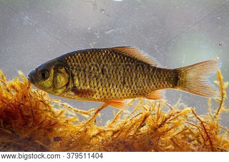 Crucian Carp Swimming Underwater Among Water Vegetation From Side View