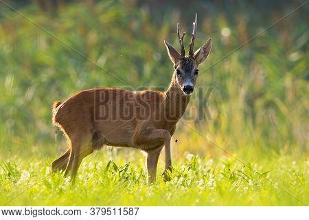 Impressive Roe Deer Buck Walking On Meadow In Summer Sun.