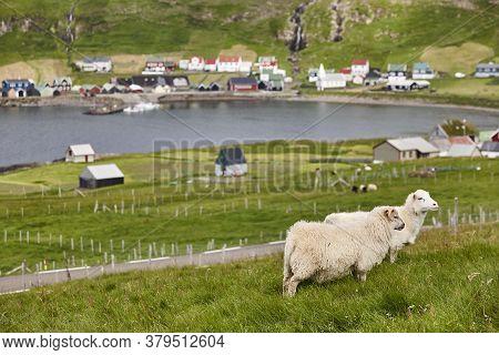 Sheep Grazing On Faroe Islands Coastline. Green Scenic Landscape. Horizontal