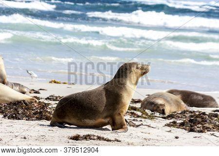 Sleeping Australian Sea Lions (neophoca Cinerea) On Kangaroo Island Beach, South Australia