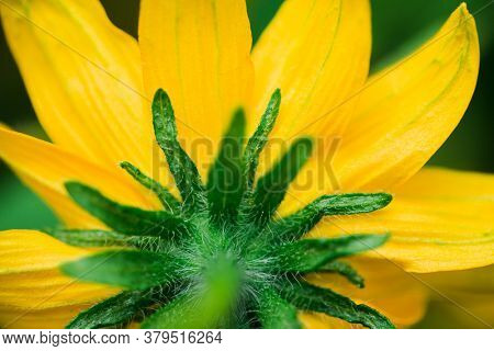 Detail of yellow Rudbeckia flowers
