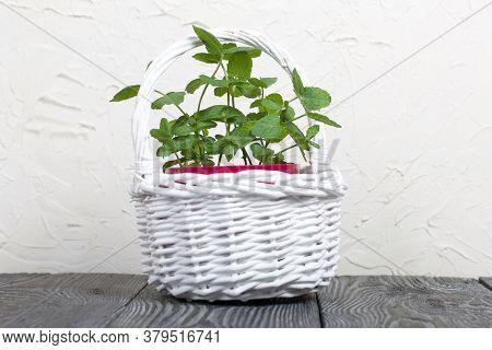 Mint In A Pot. A Pot In A White Wicker Basket. On A White Background.