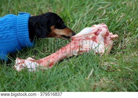 A Cute Black Dachshund In Blue Clothes  Grabs And Bites A Raw Cow Bone On The Green Grass In The Gar