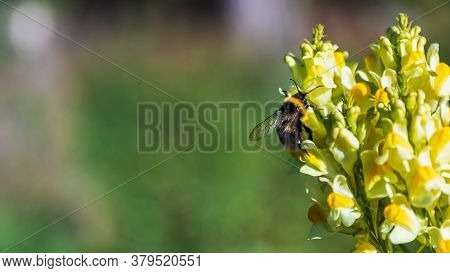 Single Bumblebee Eating And Pollinating Yellow Flower In The Forest.