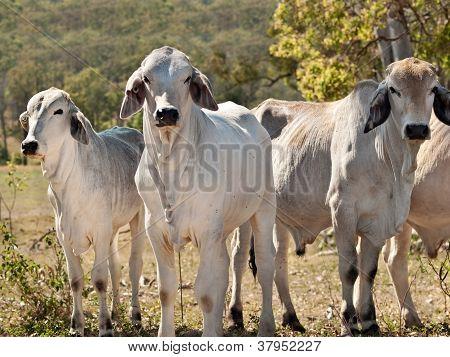 Brahman cow herd on ranch Australian beef cattle meatindustry