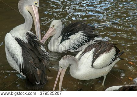 Australian Pelican Pelecanus Swimming. The Australian Pelican Has The Longest Beak Of Any Bird