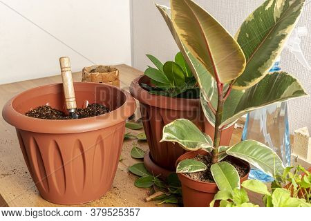 The Process Of Transplanting A Home Plant. Soil And Cut Leaves Are Scattered On The Table. Ficus In