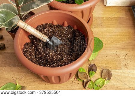 Transplanting Houseplants. Home Gardening. Plant Care. Nearby Is A Prepared Ficus Plant, As Well As