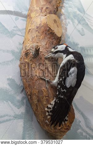 Woodpecker Siberian. He Sits On A Tree Looking For Insects. View From The Front. Nature