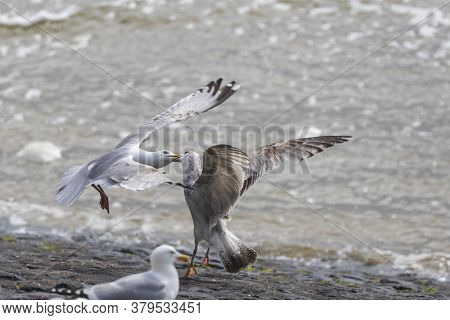 Larus Marinus - The Seagull Is In Flight In The Air And Is Fighting With The Other Seagull. They Hav