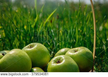 Green Apples Glisten In The Sun. The Apples Lie In The Bright Grass. High Quality Photo