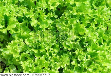 Organic Seedling Or Sapling Lettuces In The Field, Lettuce Cultivation, Green Leaves, Close-up Selec
