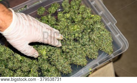 Big Bud Of Marijuana In Man's Hands After Trimming. The Culture Of Smoking In The World