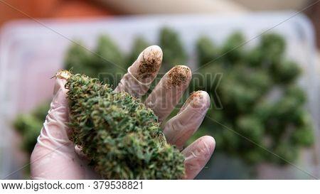 Trimming Marijuana Buds In Close-up. The Culture Of Cultivating Recreational Marijuana In Canada And