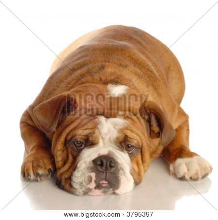 red brindle english bulldog lying down isolated on white background poster