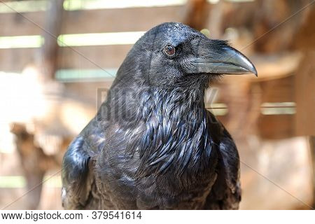 A Black Raven With A Large Beak Stares Into The Distance