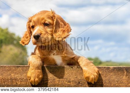 Cute golden brown puppy dog leaning on a wooden fence outside
