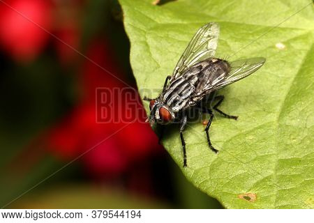 Flesh Fly Looking Over The Edge Of A Leaf.