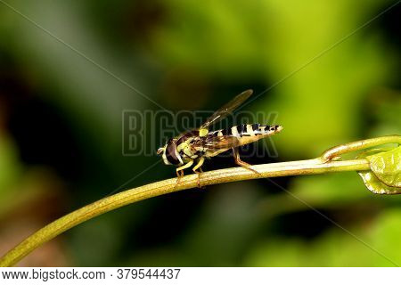 Hoverfly (sphaerophoria Scripta) Cleaning Itself On A Plant Stem.