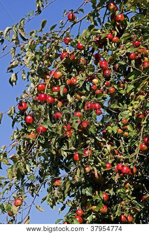 red mellow apples