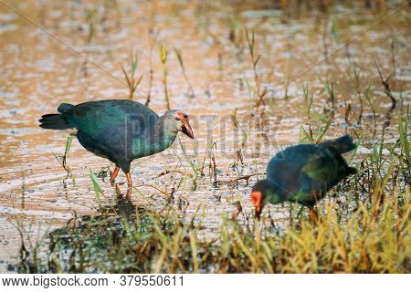 Goa, India. Two Grey-headed Swamphen Birds In Morning Looking For Food In Swamp. Porphyrio Polioceph